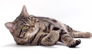 Waspadalah terhadap kucing yang sesak napas