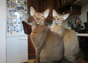 Kucing Abisinia Majalah Cat Dog