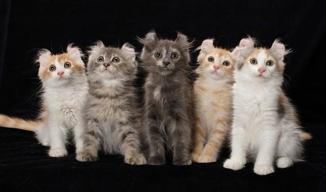 American Curl cat breed (Vetstreet)