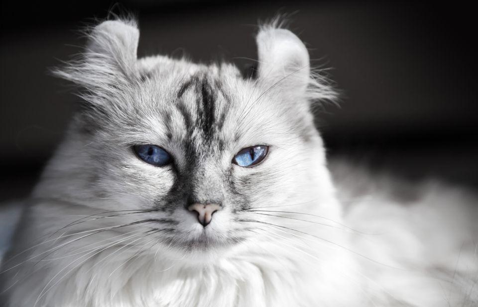 Kucing Telinga Ikal Amerika (The Spruce Pets)