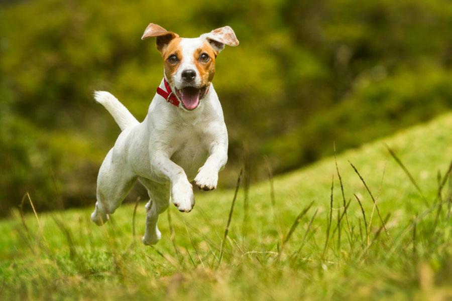 Foto anjing Jack Russel Terrier
