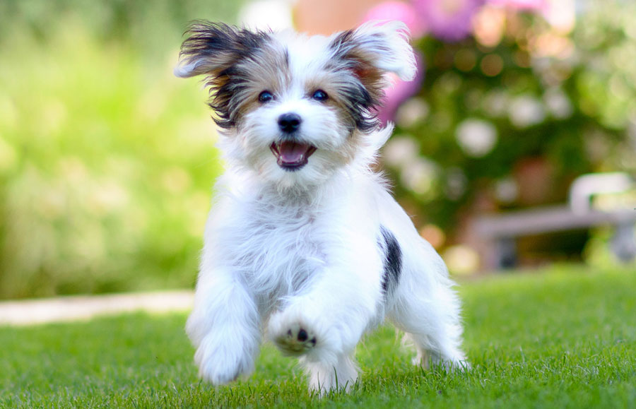 Gambar anak anjing berlari