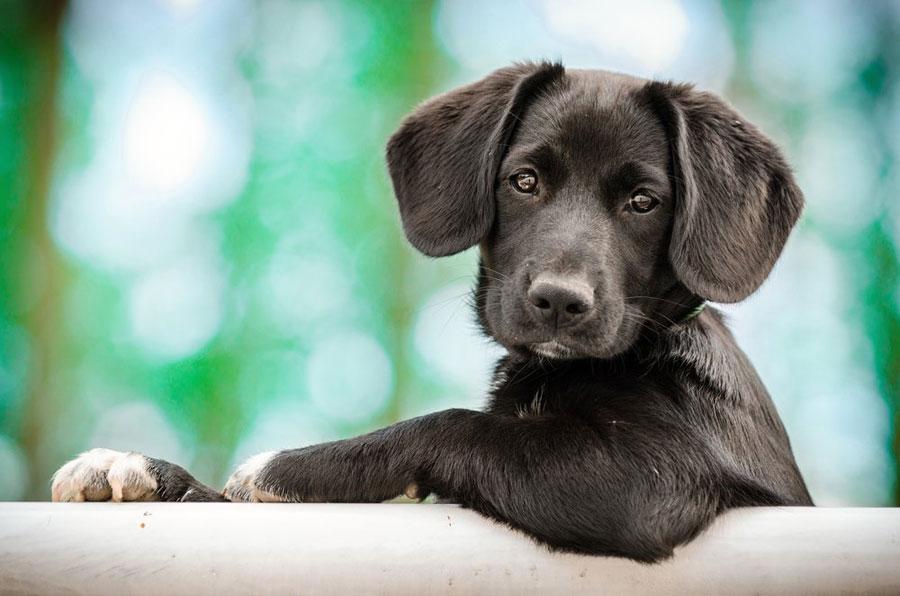Gambar anak anjing hitam