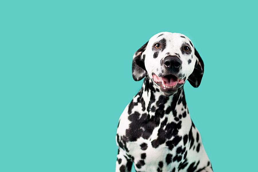 Gambar anjing Dalmatian