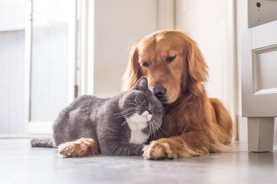 Gambar anjing Golden Retriever dan teman kucingnya