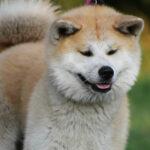 Anjing Akita