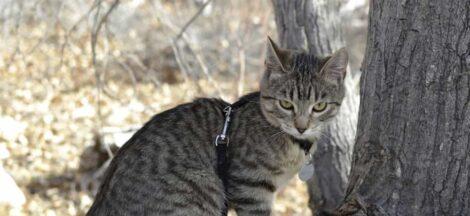 Kucing American Bobtail