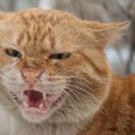 Suara kucing serak hilang