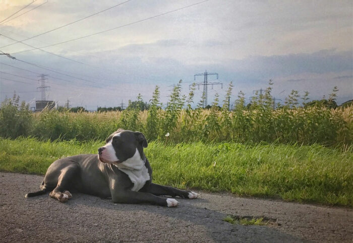 Anjing American Bully