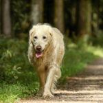 Anjing Golden Retriever