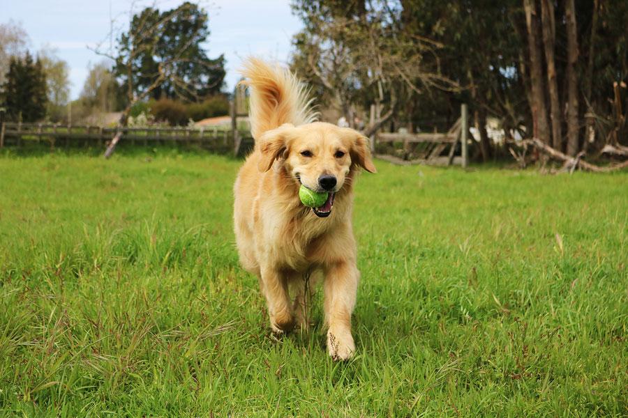 Anjing Golden Retriever main bola