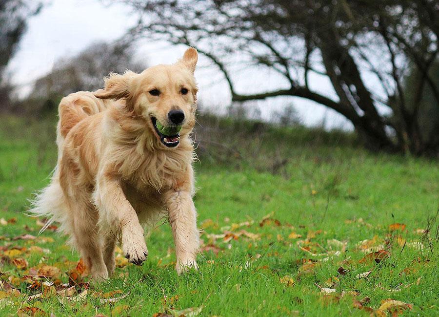 Anjing Golden Retriever menggigit bola