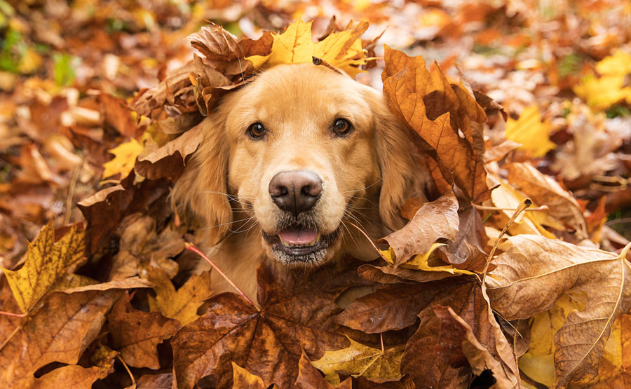Foto anjing Golden Retriever