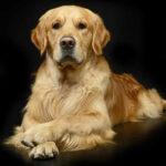Gambar anjing Golden Retriever