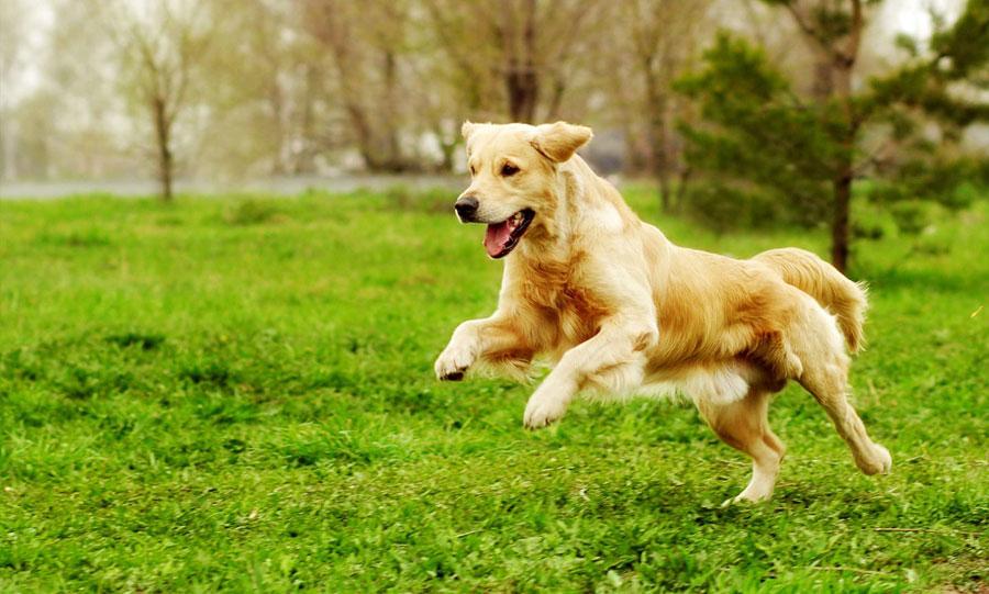Gambar anjing Golden Retriever berlari