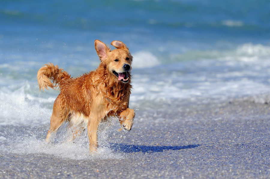 Gambar anjing Golden Retriever di pantai