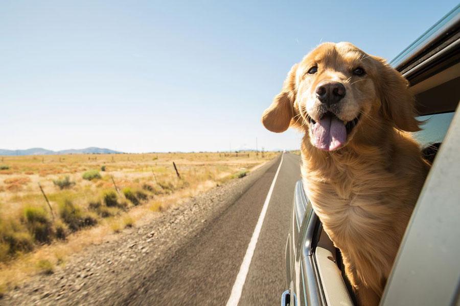 Golden Retriever naik mobil