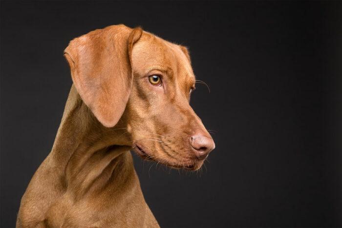 Kupir telingan anjing
